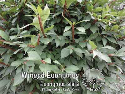 Winged Euonymus Leaves