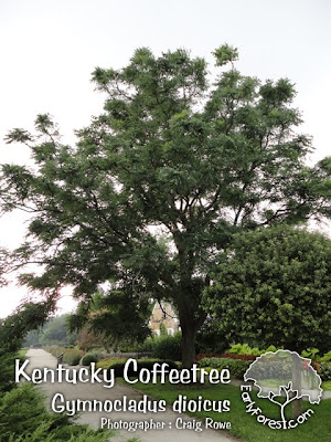 Kentucky Coffeetree