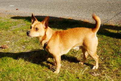 Sailor Needs A Home! Chihuahua - Basenji Needs Adopted!!!