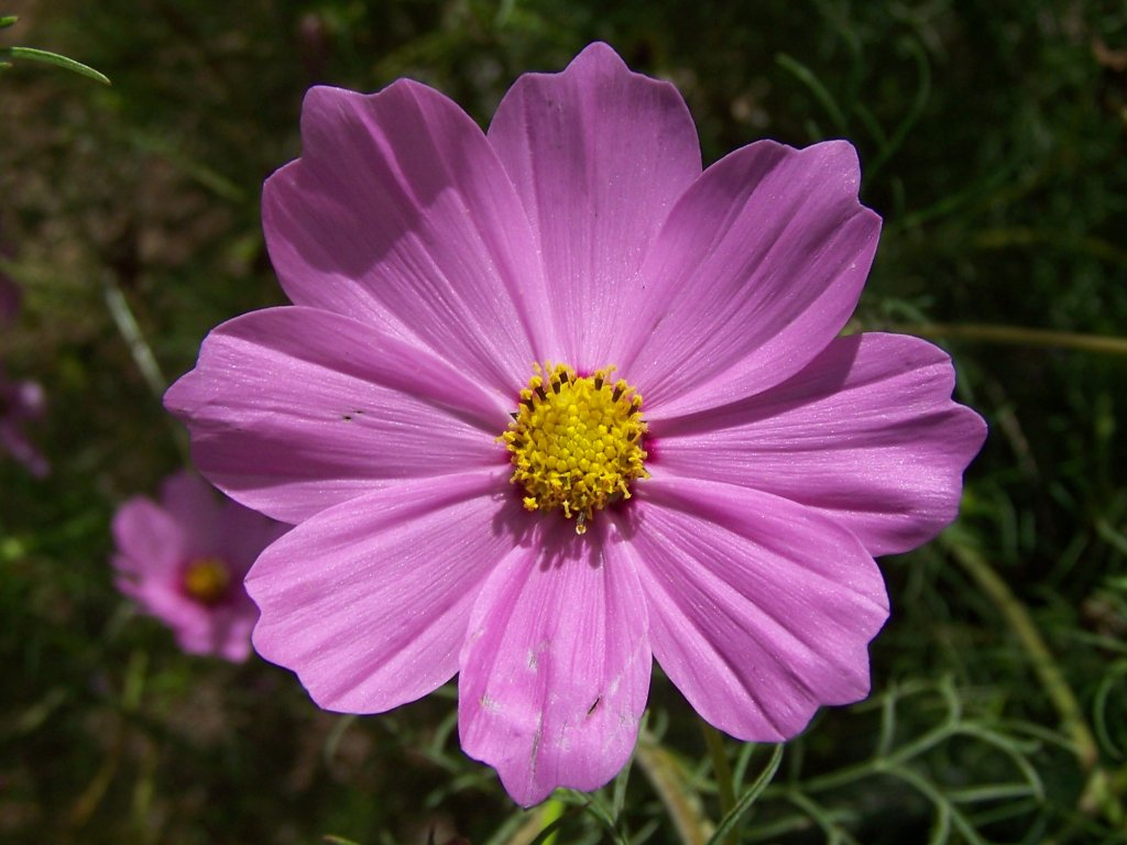 Gardening And Flowers Pink Cosmos Flower