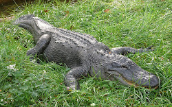 Granny's alligator