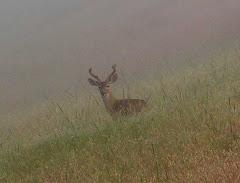 QT deer