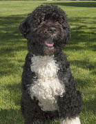 Meet President Obama Family DogBO