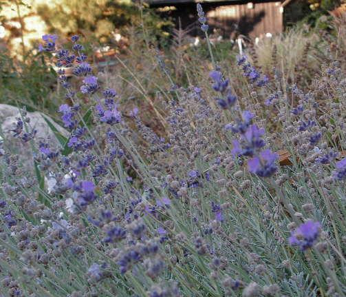 [lavender]
