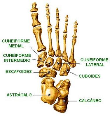 osteologia: los huesos del tarso