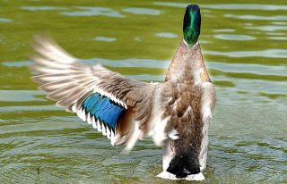 charlie mallard one wing duck funny pictures