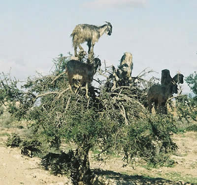 the tree climbing goats of morocco argan tree
