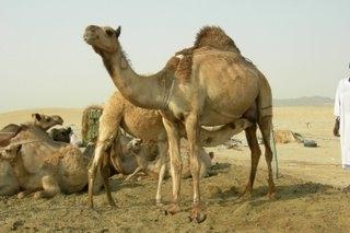 Macam- macam Binatang Kurban di hari raya Idul Adha ...