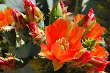 Prickly pears are flowering again.