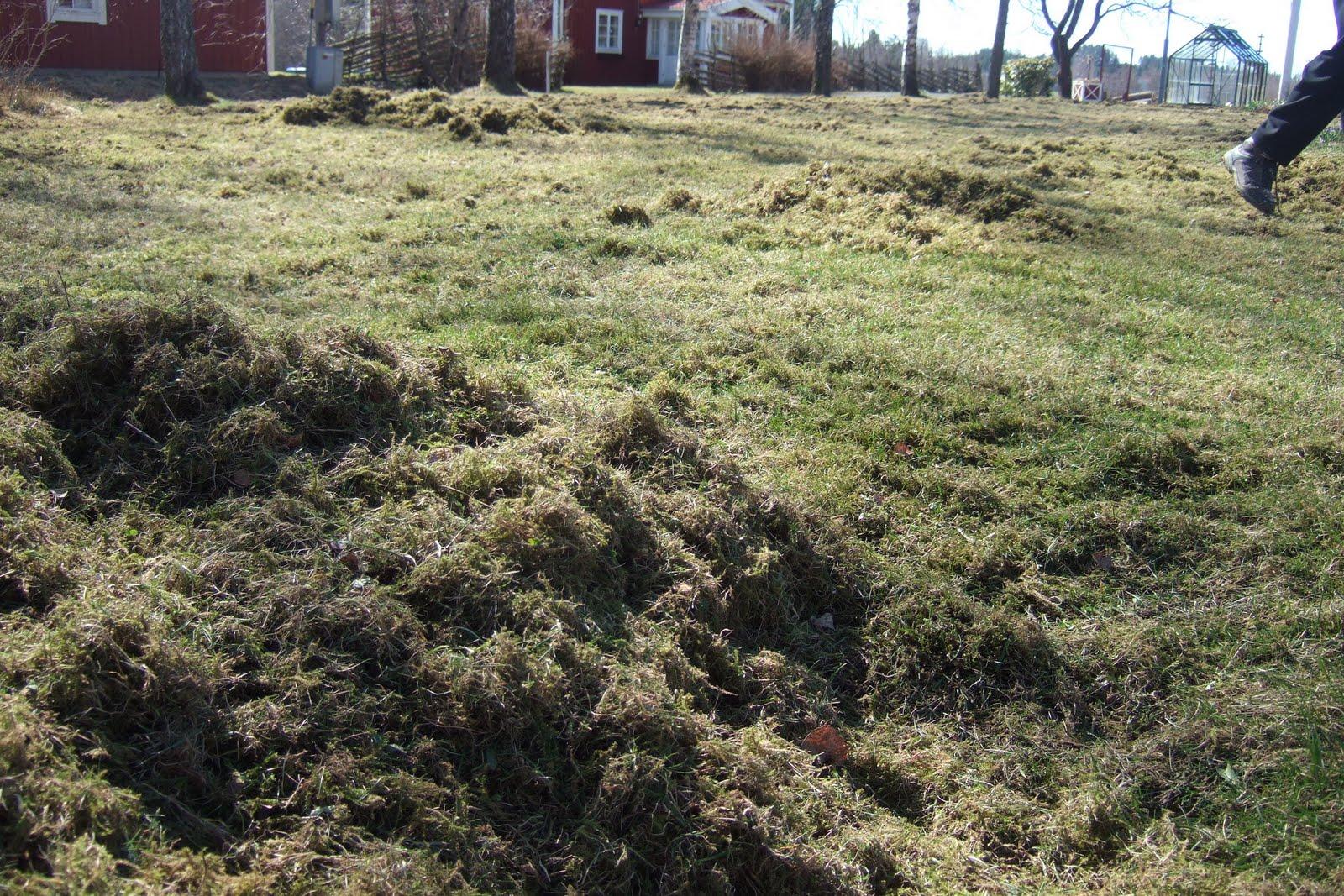 mossrivning av gräsmatta