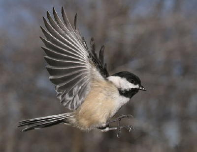 [Image: Black-Capped+Chickadee+photo.jpg]