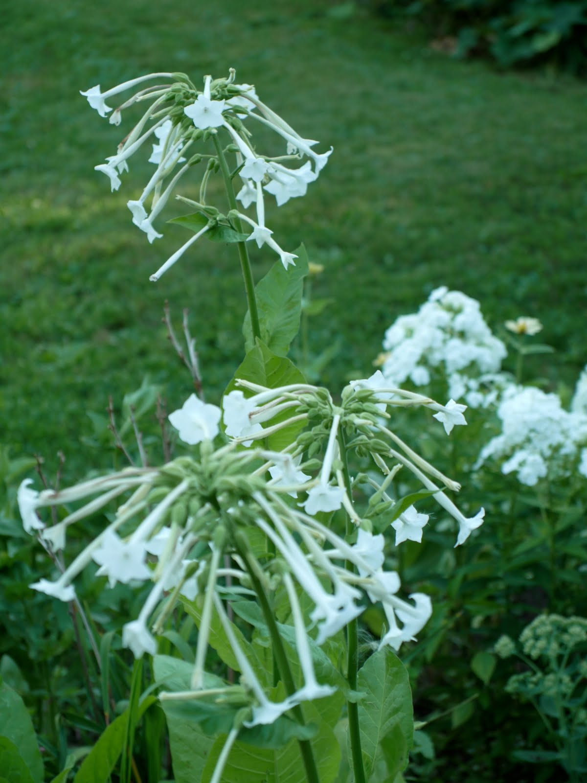The Cornwallville Gardens A White August