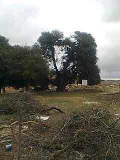 تحيط بالمنزل والتلة مجموعة كبيرة من أشجار السنديان الموغلة في القدم منذ مئات السنين