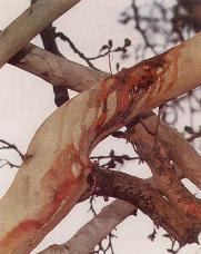 شجرة تنزف في إيران كل يوم عاشوراء