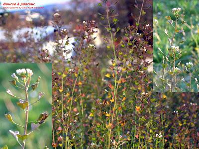 Bourse à pasteur avec des fleurs et des graines