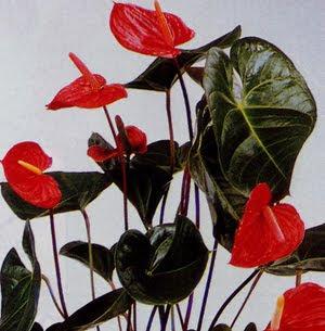 أنتوريوم ANTHURIUM Anthurium