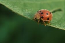Kumbang Pagi