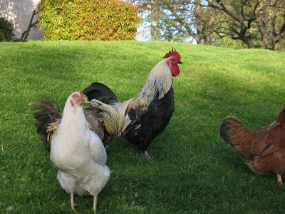chickens and roosters rule in Fair Oaks!