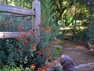 Zauachneria californica