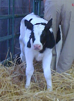 new little calf born at the California State Fair 2010