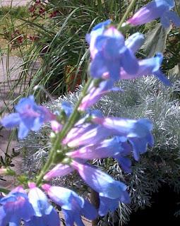 Penstemon heterophyllus, Margarita BOP