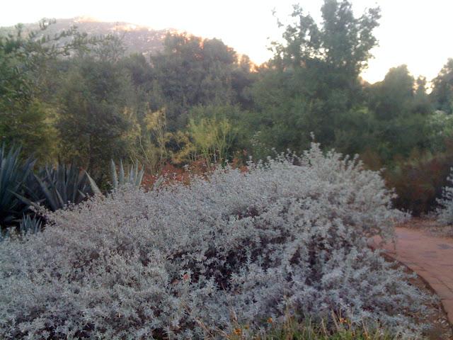 Salvia leucophylla, Gray Sage