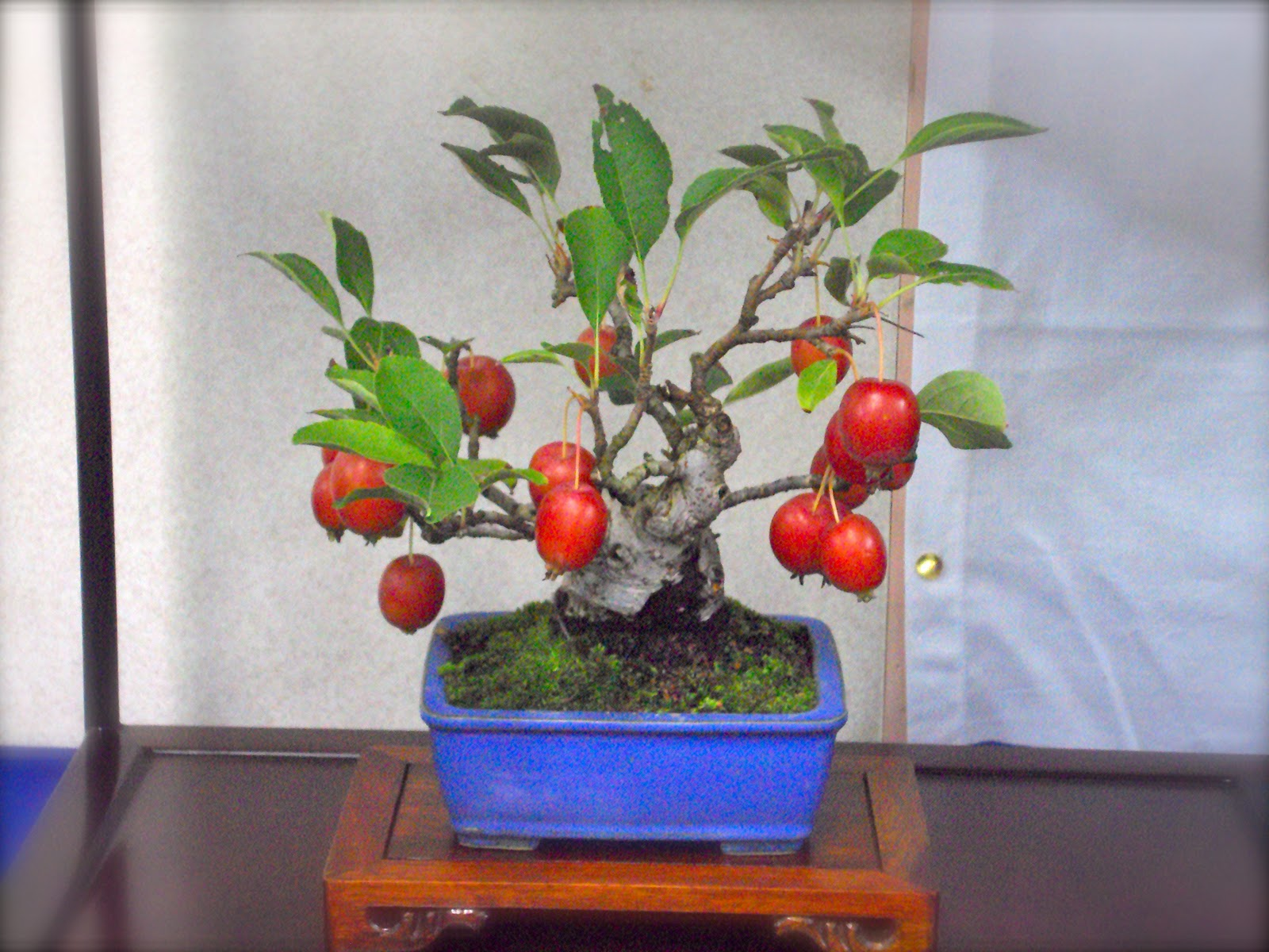 Bonsai Trees Married And Moved To Japan
