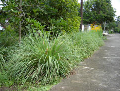 efficiency of lemon grass as mouthwash You can also add them to any diy toothpaste, mouthwash, or teeth  would they  be efficient at keeping pkaque at bay  i have been using drops of clove,  lemongrass, myrrh, and frankincense essentials oils mixed in liquid.