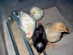 Baby Chicks Arrive - May 2007
