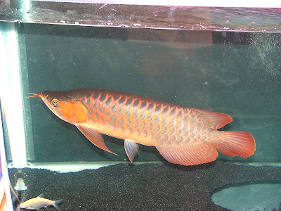 Ikan Hiasan 1 (Pemilihan spesies mengikut corak pemakan