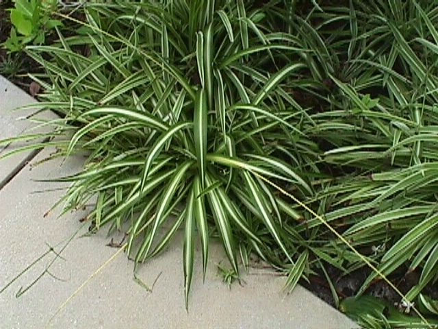 Non toxic plants for cats anthericum comosum for Spider plant cats