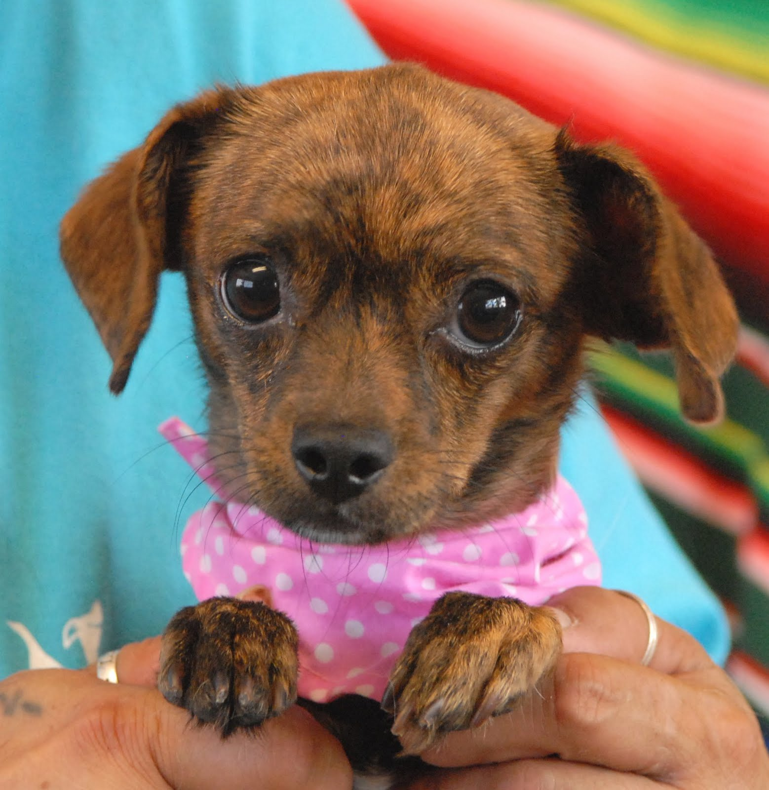 Pics photos dachshund chihuahua dog mix dogs pictures photos pics - Can I Snuggle With You