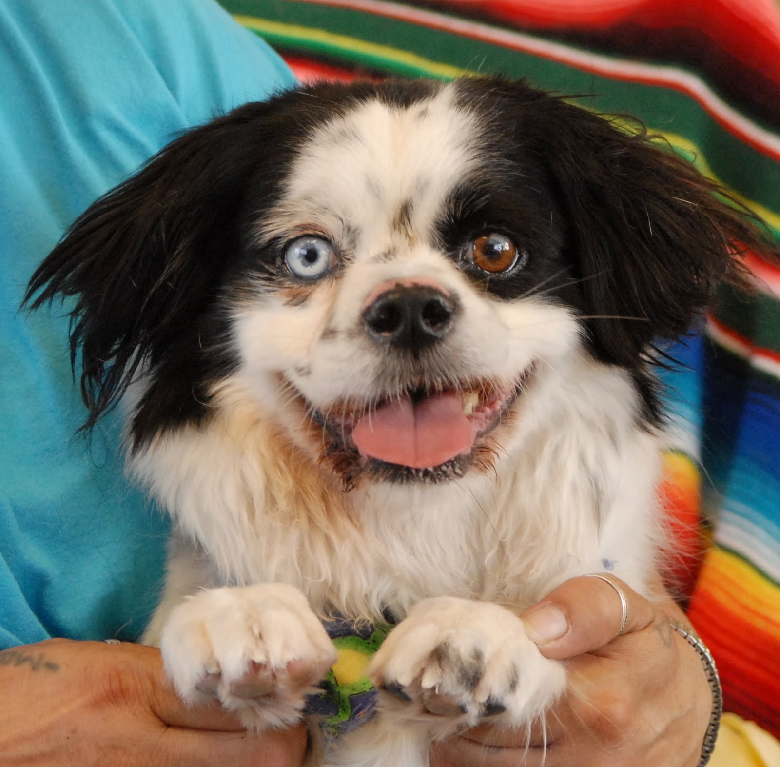 Boston Terrier Japanese Chin Mix | Dog Breeds Picture