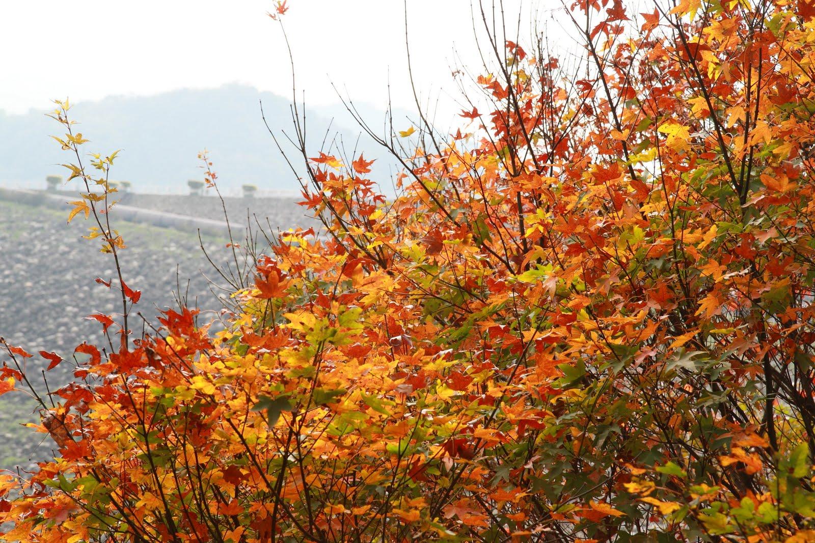 「石門水庫 楓葉」的圖片搜尋結果