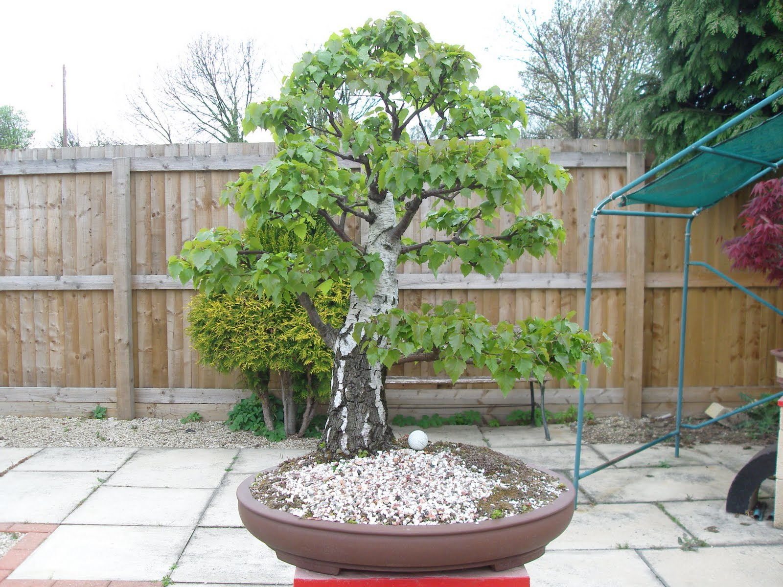 Graham39s Bonsai Silver Birch