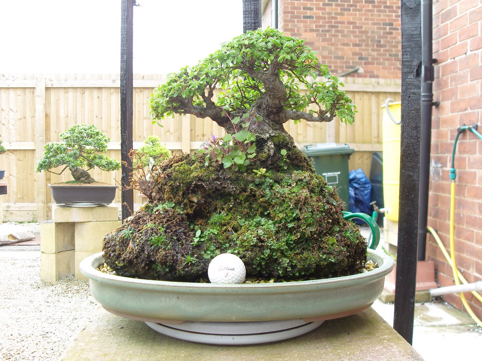 Graham39s Bonsai Chinese Elm Root Over Rock