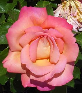 pink-rose-in-Linda-Starr's-garden