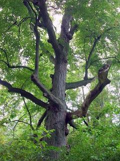 Perdido en norteamerica hoja de arce maple escudo canada - Arce arbol variedades ...