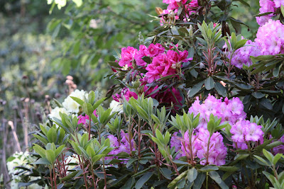 rhododendronul