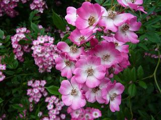 trandafir cu flori simple