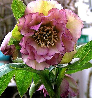 helleborus floare de iarna primavara