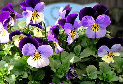 flori de panselute primavara