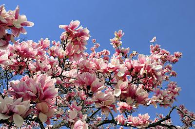 poza magnolia in gradina romantica