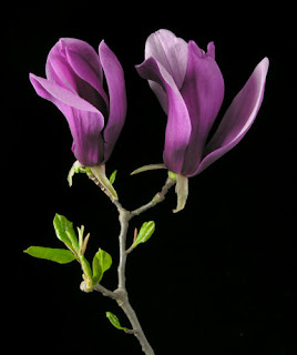 Magnolia primavara