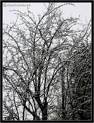 Pear tree under snow