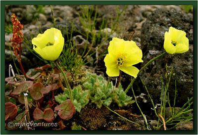Icelandic_Flora