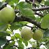 Äppelpaj med havregryn