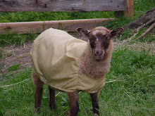 Shetland Sheep