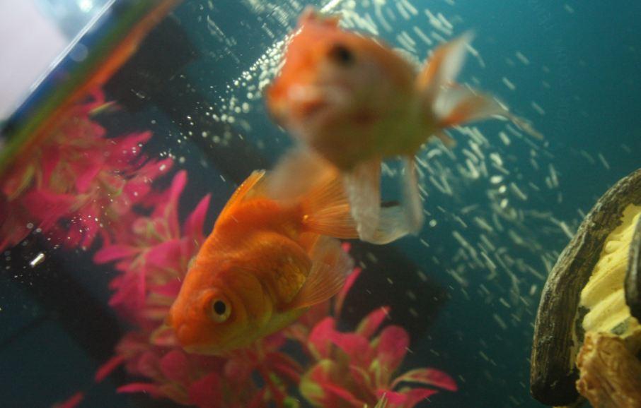 Cara menjadi anak ikan datin