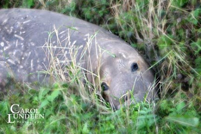 Carol Lundeen Photography elephant seal